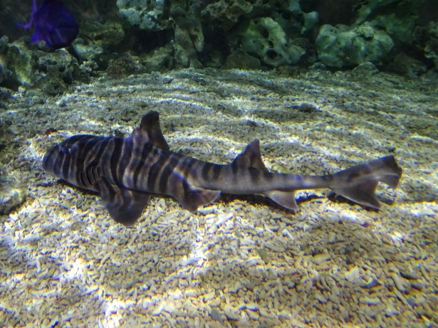 Zebra Horned Shark